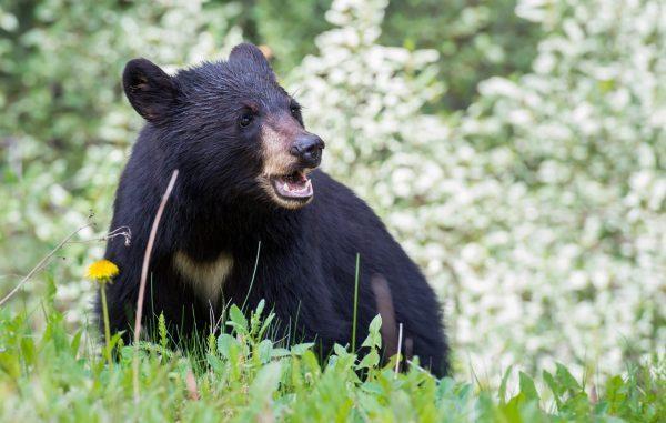 Bear in meadow